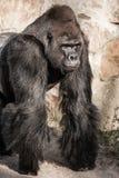 Ritratto del fronte di un maschio della gorilla Immagine Stock
