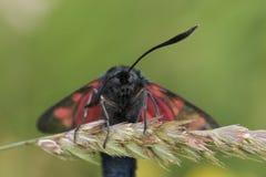 Ritratto del fronte del lepidottero della pimpinella Immagini Stock