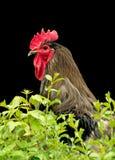 Ritratto del gallo Immagini Stock Libere da Diritti