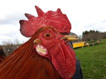 Ritratto del gallo Fotografia Stock Libera da Diritti