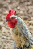 Ritratto del gallo Fotografie Stock