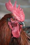 Ritratto del gallo Fotografia Stock