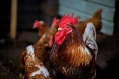 Ritratto del gallo brillantemente colorato arduo Gallo e galline liberi della gamma sull'azienda agricola Concetto di eco del vil Fotografia Stock