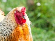 Ritratto del gallo di Brahma Pollo massiccio dell'azienda agricola Fotografie Stock Libere da Diritti