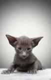 Ritratto del gattino Immagini Stock