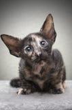Ritratto del gattino Fotografia Stock Libera da Diritti
