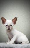 Ritratto del gattino Fotografia Stock