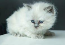 Ritratto del gattino bianco Fotografia Stock Libera da Diritti