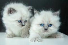 Ritratto del gattino bianco Fotografie Stock