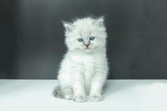 Ritratto del gattino bianco Fotografie Stock Libere da Diritti