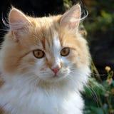 Ritratto del gattino rosso Immagine Stock