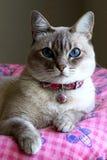 Gatto sveglio con gli occhi azzurri Fotografia Stock