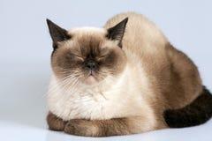 Ritratto del gatto Immagine Stock