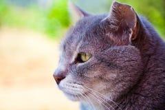 Ritratto del gatto adulto Immagine Stock