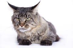 Ritratto del gatto, coon principale Fotografia Stock