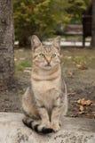 Ritratto del gatto dagli occhi verdi scontroso del randagio del soriano Fotografia Stock