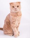 Ritratto del gatto del popolare dello Scottish su fondo bianco Fotografie Stock Libere da Diritti
