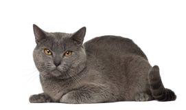 Ritratto del gatto di Chartreux, di 1 e di una metà di anni Fotografia Stock