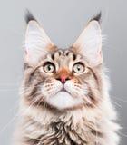 Ritratto del gatto di Coon della Maine Immagine Stock