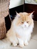 Ritratto del gatto di Maine Coon Immagine Stock Libera da Diritti