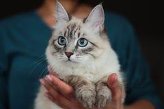 Ritratto del gatto di Neva Masquerade Fotografie Stock Libere da Diritti