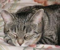 Ritratto del gatto di sonno fotografia stock