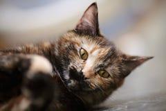 Ritratto del gatto di un di un colore colorato multi fotografie stock libere da diritti