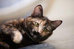 Ritratto del gatto di un di un colore colorato multi fotografia stock libera da diritti