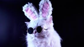 Ritratto del gatto divertente in occhiali da sole di modo ed orecchie di coniglio molli Metraggio dello studio stock footage