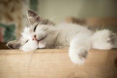 Ritratto del gatto dolce di bianco di sonno Immagine Stock Libera da Diritti