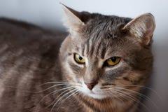 Ritratto del gatto domestico Fotografie Stock Libere da Diritti