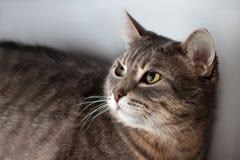 Ritratto del gatto domestico Fotografia Stock