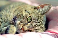 Ritratto del gatto domestico della testa immagine stock