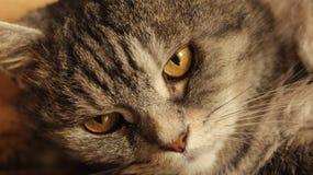 Ritratto del gatto grigio a casa Immagine Stock