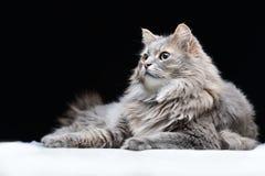 Ritratto del gatto grigio sui precedenti neri fotografia stock libera da diritti