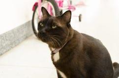 Ritratto del gatto marrone Fotografie Stock Libere da Diritti