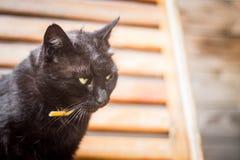 Ritratto del gatto nero Fotografia Stock
