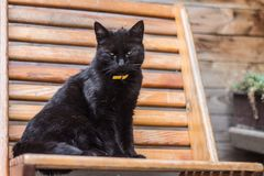 Ritratto del gatto nero fotografie stock