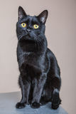 Ritratto del gatto nero isolato fotografia stock libera da diritti