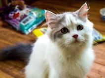 Ritratto del gatto persiano Immagine Stock