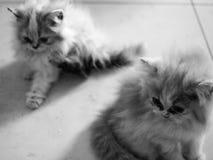 Ritratto del gatto persiano in bianco e nero Fotografie Stock Libere da Diritti
