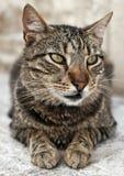 Ritratto del gatto - riposando sulla via di pietra Croazia immagine stock