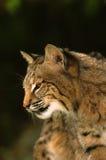 ritratto del gatto selvatico Fotografia Stock