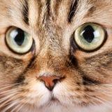 Ritratto del gatto siberiano Immagini Stock Libere da Diritti