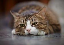 Ritratto del gatto a strisce triste Fotografia Stock