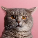 Ritratto del gatto sveglio scozzese diritto fotografie stock libere da diritti