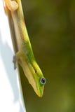 Ritratto del Gecko verde immagini stock libere da diritti