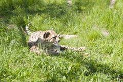 Ritratto del ghepardo Fotografie Stock Libere da Diritti
