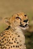 Ritratto del ghepardo Fotografia Stock