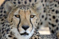 Ritratto del ghepardo Immagine Stock Libera da Diritti